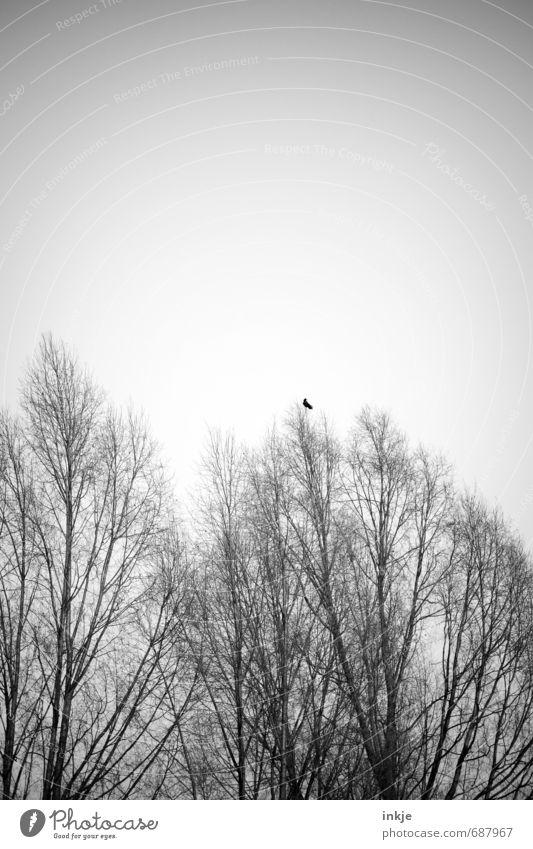 eine Krähe macht noch keinen Sommer Himmel Natur Baum Einsamkeit Tier dunkel kalt Wald Umwelt Gefühle Herbst Frühling klein Stimmung Vogel trist