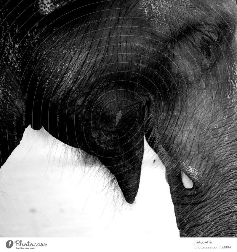 Elefant Tier Wildtier lachen groß Säugetier Rüssel Stoßzähne Flaum schwer Falte Asien gutmütig Maul Schwarzweißfoto Auge Profil Anschnitt Nahaufnahme Tierhaut