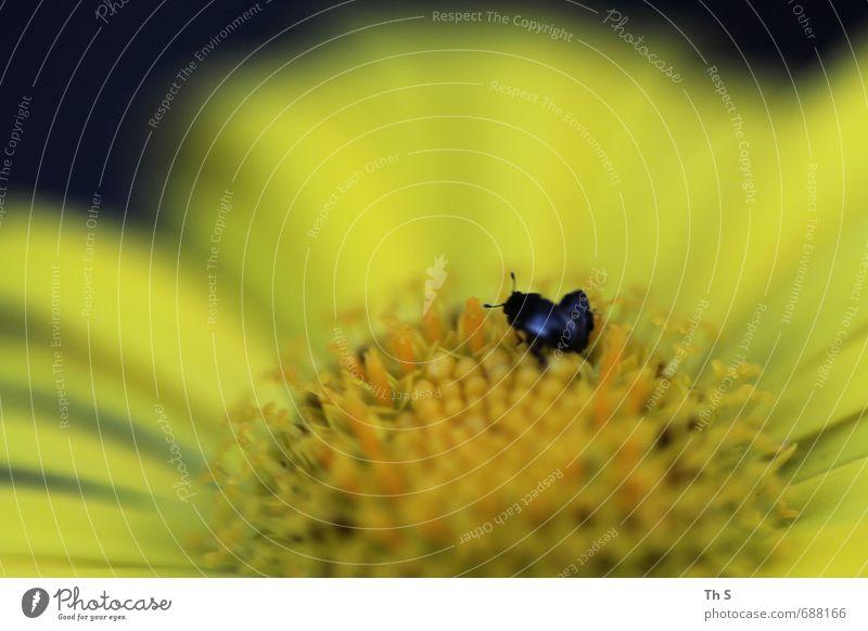 Käfer Natur schön Pflanze Sommer Tier schwarz gelb Frühling Blüte natürlich elegant authentisch ästhetisch Blühend Lebensfreude Duft