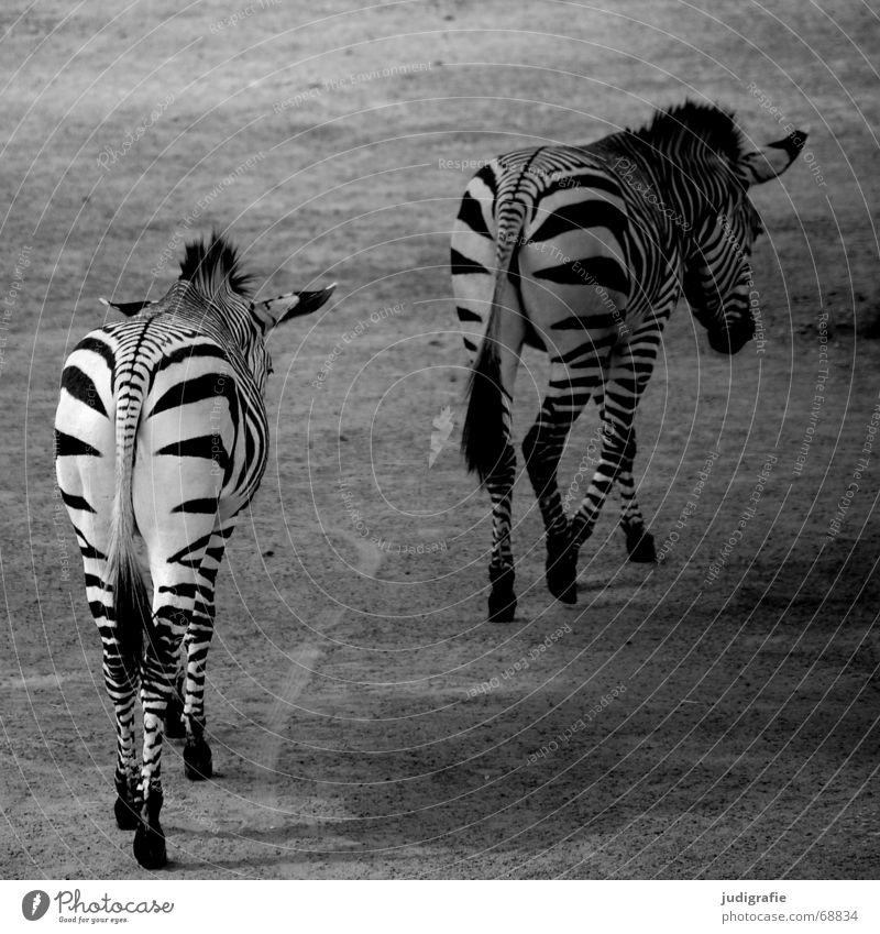 Zebras Tier Tierpaar Streifen laufen schwarz weiß Steppenzebra 2 gestreift Säugetier Unpaarhufer Mähne geradeaus paarweise Schwarzweißfoto Rückansicht Fell