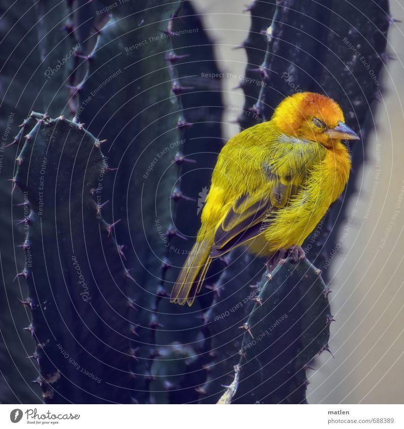 sicherer Schlafplatz Natur grün Pflanze Tier gelb Vogel schlafen Kaktus