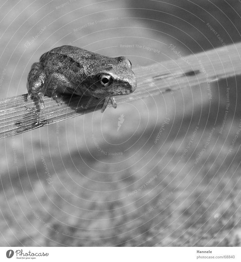 hüpfer in s/w Tier Lurch Gras Halm springen hüpfen grün Frosch frog Wasser Stein Natur