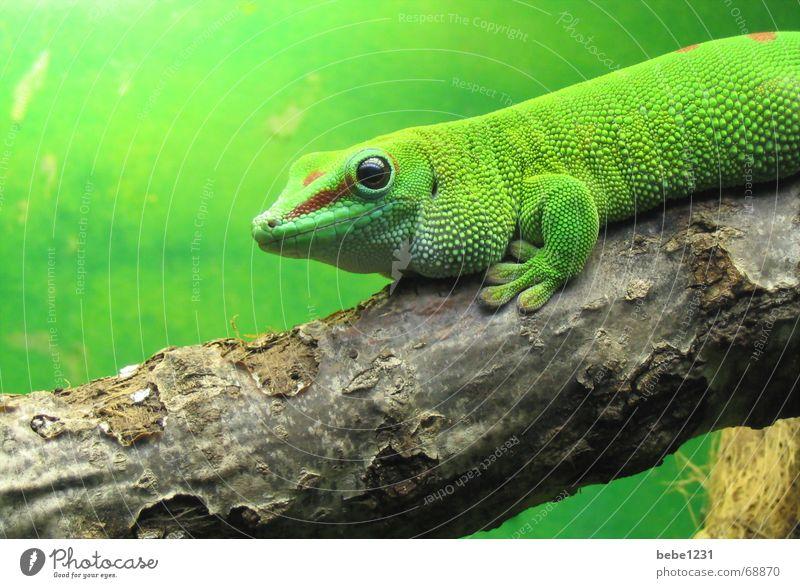 Es grünt so grün grün Baum Ast Urwald Reptil Tier Echsen Echte Eidechsen