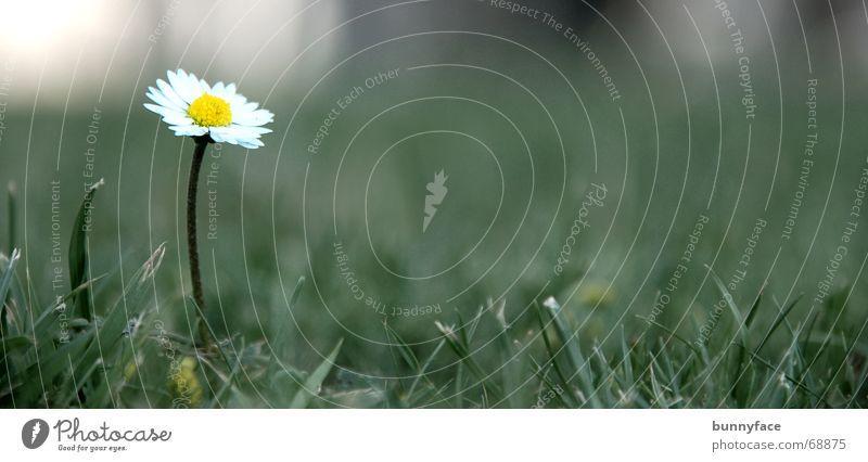 sorglos da Natur schön weiß Blume grün Freude ruhig Einsamkeit Wiese Gras Traurigkeit Feld trist Rasen Gänseblümchen Hochmut