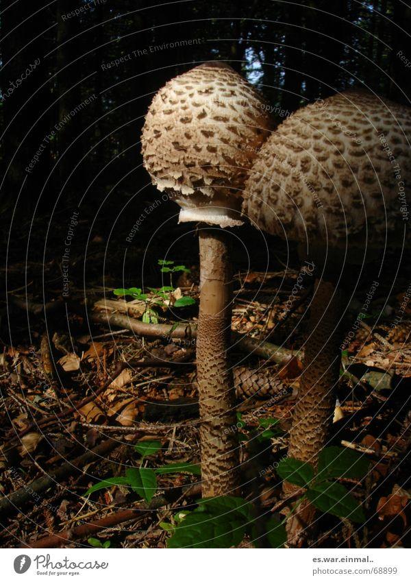 mit sicherheit essbar. Pflanze Tier Wald klein Erde außergewöhnlich Klima groß Spaziergang Ast Lebewesen Gemüse Stengel Rauschmittel Pilz seltsam