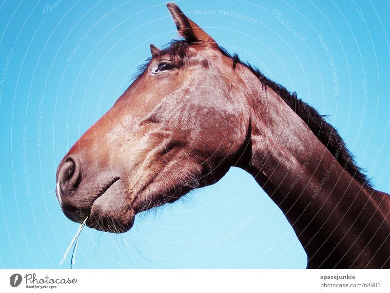 Celestino (2) Pferd Tier Außenaufnahme Gras Halm Fressen Mähne horse Natur Himmel blau