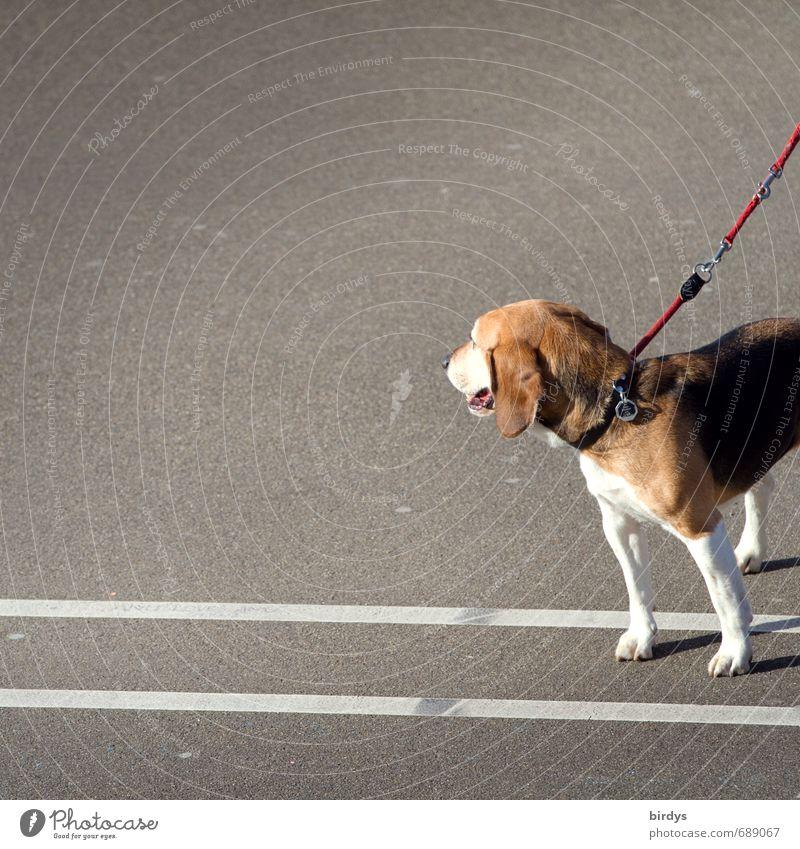 Beagle-Photo Straße Asphalt Hund 1 Tier Linie beobachten stehen ästhetisch lustig positiv Tierliebe Hundeleine Anschnitt Farbfoto Außenaufnahme Menschenleer