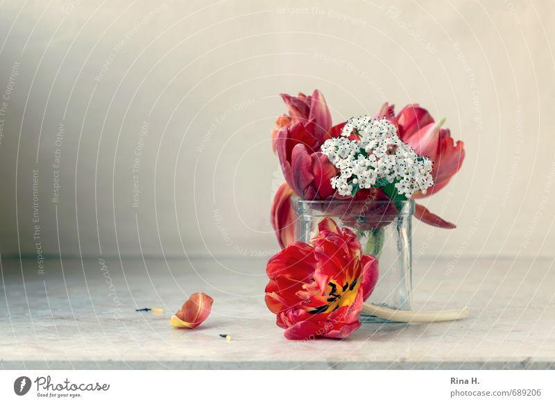 TulpenStill rot Blume Traurigkeit Vergänglichkeit Blühend Hoffnung Blumenstrauß Blütenblatt Vase verblüht