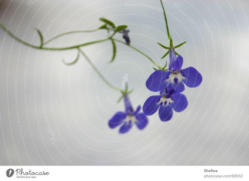 Lobelia weiß Blume blau Pflanze Blüte Veronica Glocke filigran geschwungen Gamander-Ehrenpreis Lobelie