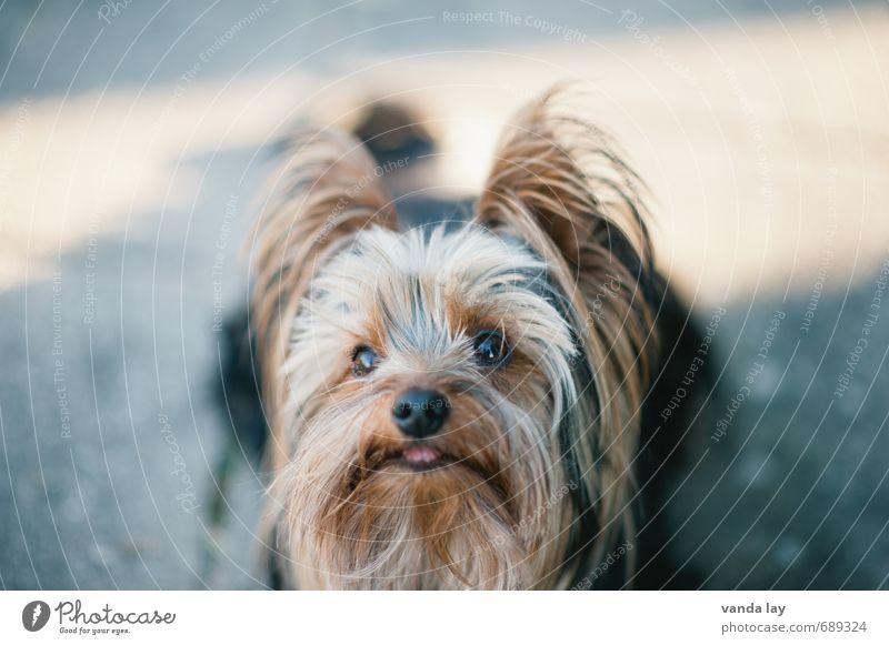 Yorkie Haare & Frisuren Haustier Hund Tiergesicht Yorkshire-Terrier Rassehund 1 Freundschaft Gassi gehen Farbfoto Außenaufnahme Menschenleer Textfreiraum oben
