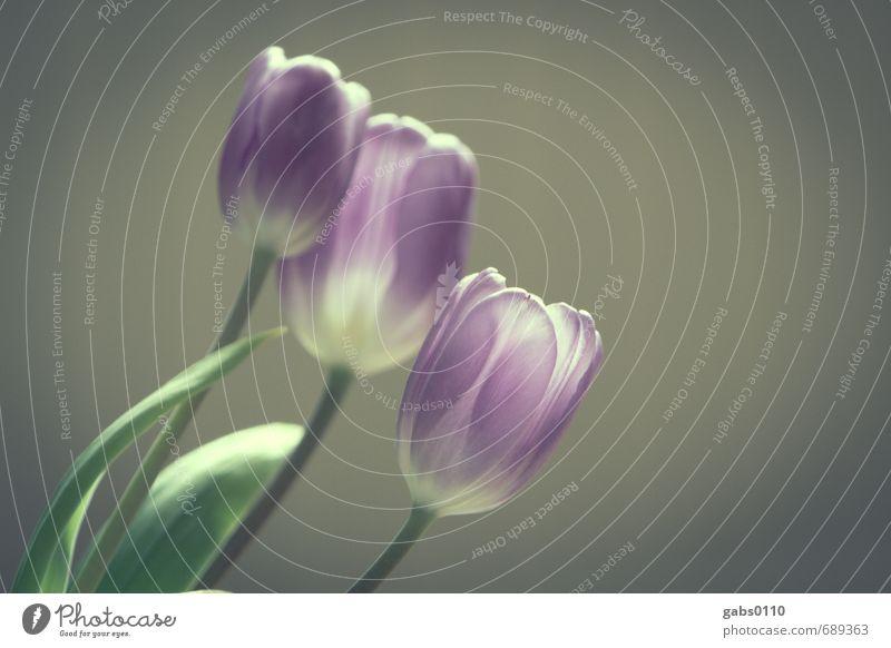 Tulpen Umwelt Natur Pflanze Blume Blatt Grünpflanze schön Lebensfreude Sinnesorgane Stimmung Stolz Team Tod Vergänglichkeit verlieren Zusammenhalt 3