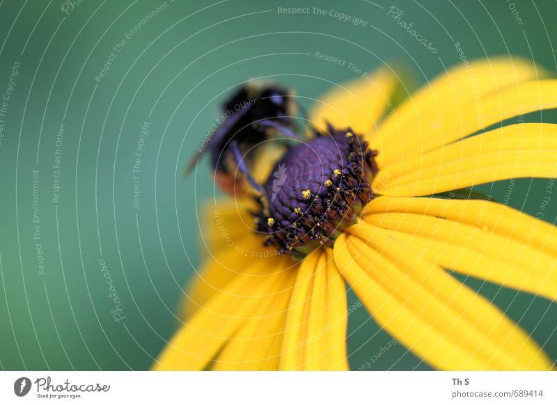 Biene Natur Pflanze Frühling Sommer Blüte Wildtier 1 Tier Blühend Duft ästhetisch elegant natürlich gelb grün Lebensfreude Frühlingsgefühle schön harmonisch