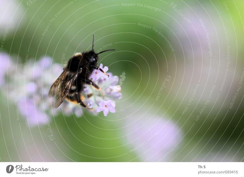 Biene Natur schön Farbe Pflanze ruhig Tier Blüte natürlich elegant ästhetisch Blühend Lebensfreude Gelassenheit Duft harmonisch