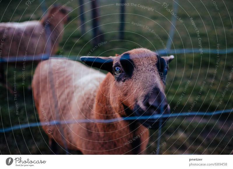Ziegen, die auf Menschen starren Freizeit & Hobby Ferien & Urlaub & Reisen Ausflug Abenteuer Umwelt Natur Tier Nutztier Zoo Streichelzoo 2 stehen Freiheit