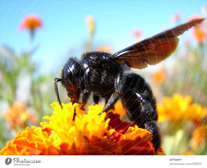 schwarz auf gelb? biene! Natur Himmel Blume Sommer Tier Blüte Umwelt Flügel Insekt Biene Schönes Wetter Hummel Staubfäden Wespen