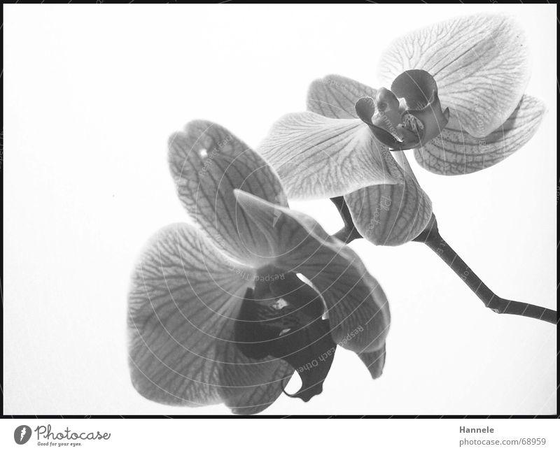 Orchidäles Orchidee Blume Blüte Pflanze 2 schwarz weiß zerbrechlich zart Asien Blühend Schwarzweißfoto fragiel hell Natur