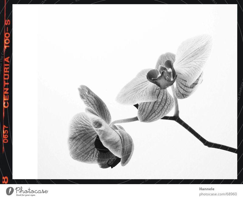 orchidäles2 Orchidee Blume Blüte Pflanze schwarz weiß zerbrechlich zart Asien Blühend Schwarzweißfoto fragiel hell Natur