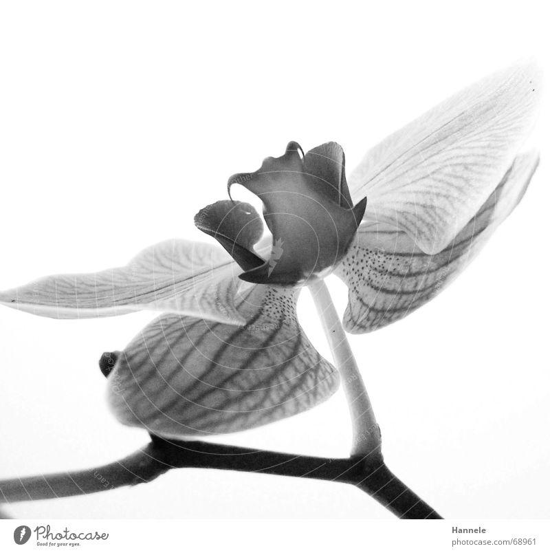 orchidäles3 Orchidee Blume Blüte Pflanze 2 schwarz weiß zerbrechlich zart Asien Blühend Schwarzweißfoto fragiel hell Natur