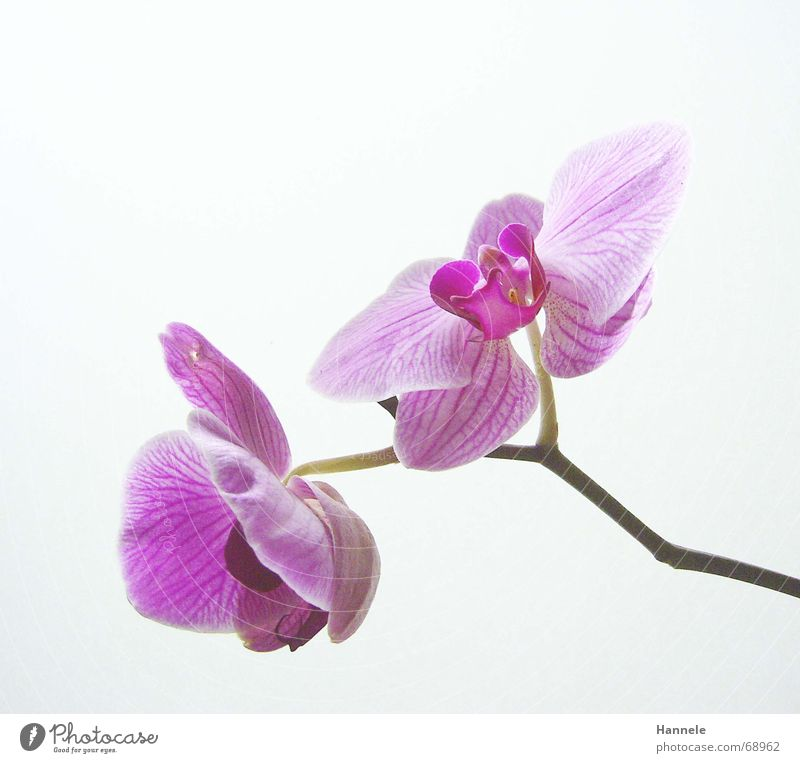 orchdäles bunt Orchidee Blume Blüte Pflanze 2 zerbrechlich zart Asien rosa Blühend fragiel hell Natur