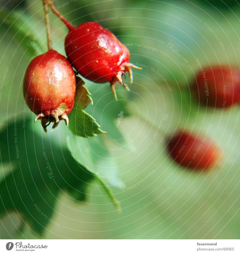 Herbstboten Baum rot Pflanze Sommer Garten Frucht Sträucher Ast Zweig Beeren herbstlich