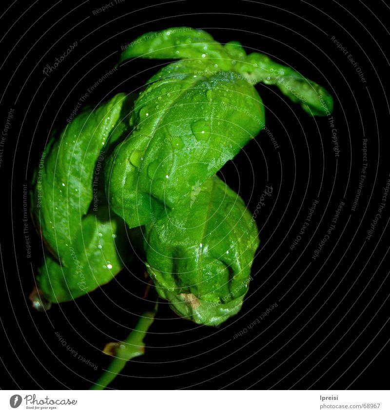 Basilikum-Drache Pflanze grün Wassertropfen schwarz Kräuter & Gewürze Makroaufnahme Gemüse