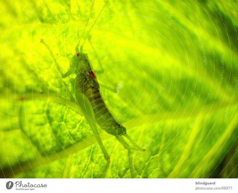 Tarnen und Täuschen Natur grün Blatt Lampe springen klein sitzen Sicherheit Insekt verstecken Ekel falsch Fühler hüpfen Tarnung Heuschrecke