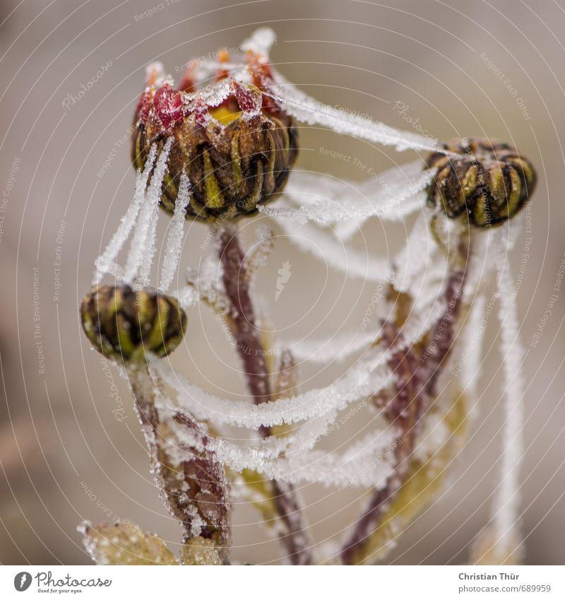 Eisig Natur Pflanze Tier Winter Frost Blume frieren ästhetisch schön gold grau grün rot weiß Gefühle kalt Farbfoto Außenaufnahme Makroaufnahme Tag Totale