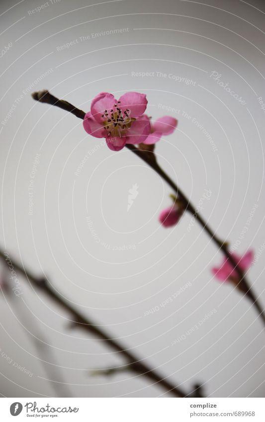 Pfirsichblüten Stil Design exotisch schön Frühling Pflanze Blume Blüte Grünpflanze Blühend Häusliches Leben rosa Kirschblüten Zweig Ast Dekoration & Verzierung