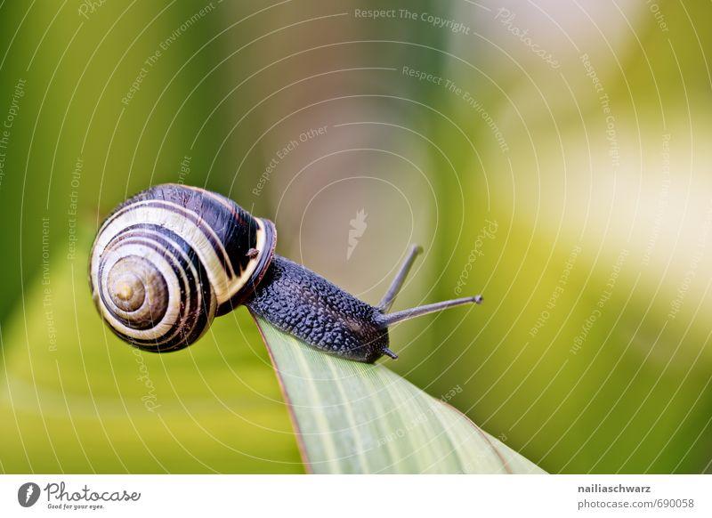 Schnecke im Garten Tier Blatt Antenne krabbeln rennen elegant schön natürlich Neugier niedlich schleimig gelb schwarz Fröhlichkeit Frühlingsgefühle Mut