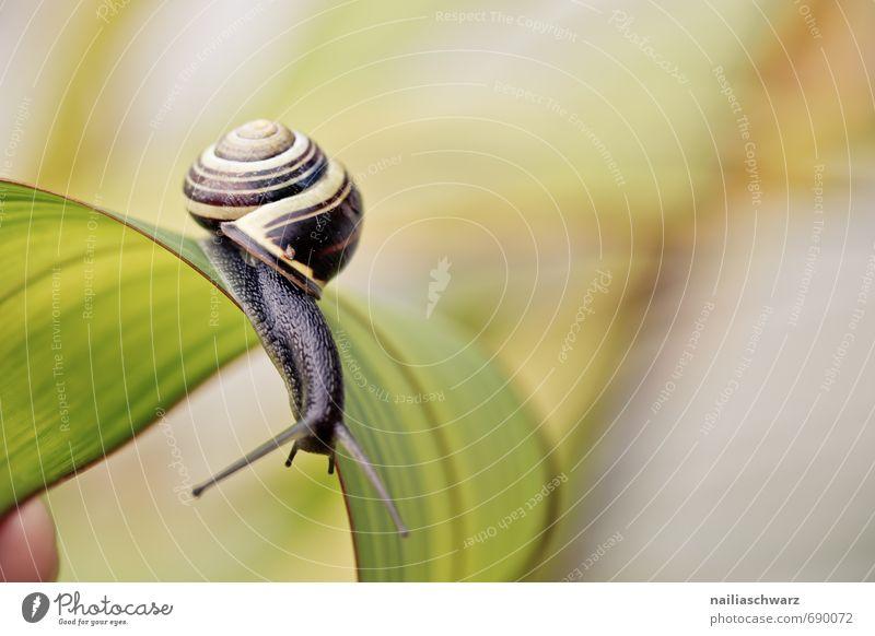 Schnecke im Garten Tier Blatt Antenne krabbeln Fröhlichkeit schön gelb schwarz Frühlingsgefühle Tierliebe Neugier Genauigkeit Geschwindigkeit Ziel Schecke