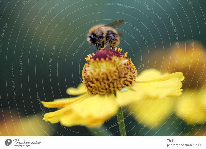 Biene Natur schön Farbe Pflanze Sommer Tier Frühling Blüte natürlich elegant ästhetisch Blühend Lebensfreude Duft harmonisch