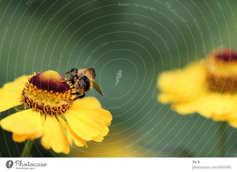 Biene Natur Pflanze Tier Frühling Sommer Blüte 1 Blühend Duft ästhetisch authentisch elegant natürlich schön Lebensfreude Frühlingsgefühle fleißig Farbe