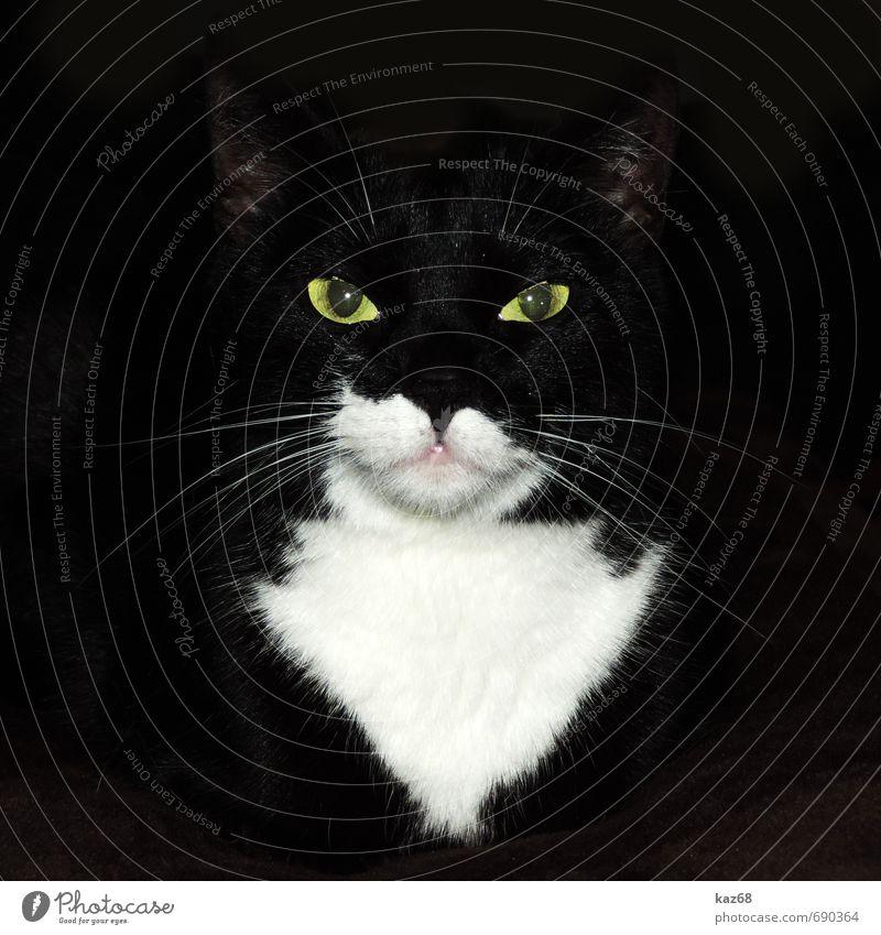 Lilli Katze schön weiß Tier schwarz dunkel gelb glänzend elegant Kraft wild leuchten warten ästhetisch bedrohlich beobachten