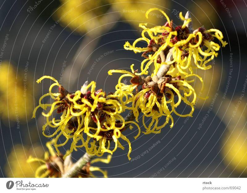 Blüte der Zaubernuss (Hamamelis) Natur Blume Frühling Sträucher bizarr