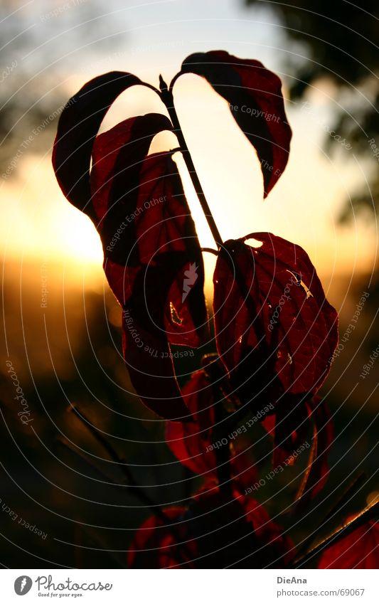 Abendstimmung (1) Natur rot Sommer Blatt Loch August