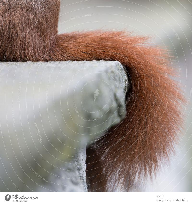 Eichhörnchen Umwelt Natur Tier Wildtier 1 braun grau Schwanz Farbfoto Außenaufnahme Nahaufnahme Detailaufnahme Menschenleer Textfreiraum links Tag