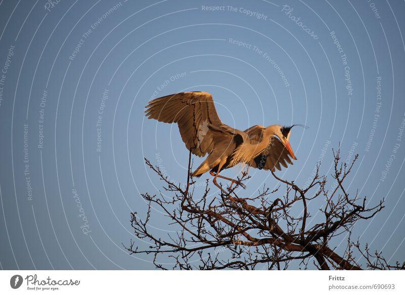 Graureiher 2 Natur Tier Himmel Wolkenloser Himmel Schönes Wetter Baum Wildtier Vogel Flügel 1 fliegen natürlich oben blau grau orange schwarz weiß Wachsamkeit