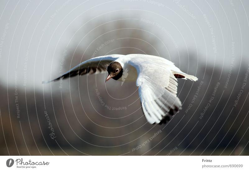 A Möwe mid an schworz´n Kopf Himmel Natur weiß Tier schwarz fliegen Vogel Wildtier beobachten Feder Flügel Wachsamkeit gefiedert Kunstflug
