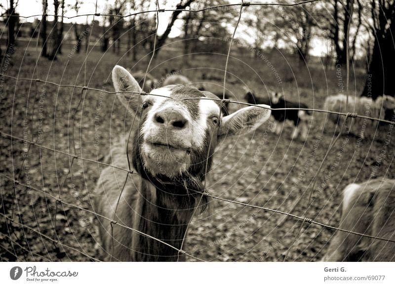Du Zicke Tier Weide Zaun Schaf Geruch Säugetier gefangen Nutztier Ziegen Fell Thusnelda Maschendrahtzaun eingezäunt Geißbock Ziegenfell Ziegenherde