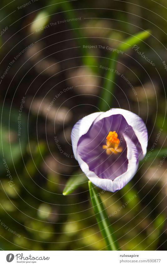Frühblüher Umwelt Natur Pflanze Frühling Blume Krokusse Garten Park Wiese klein nah schön Frühlingsgefühle Umweltschutz Wachstum Blumenwiese violett Farbfoto