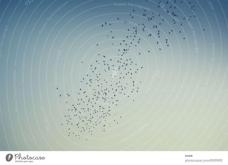 Textfreiraum | grenzenlos Umwelt Tier Luft Himmel Wildtier Vogel Schwarm fliegen Unendlichkeit wild blau Lebensfreude Euphorie Zusammensein Fernweh Angst