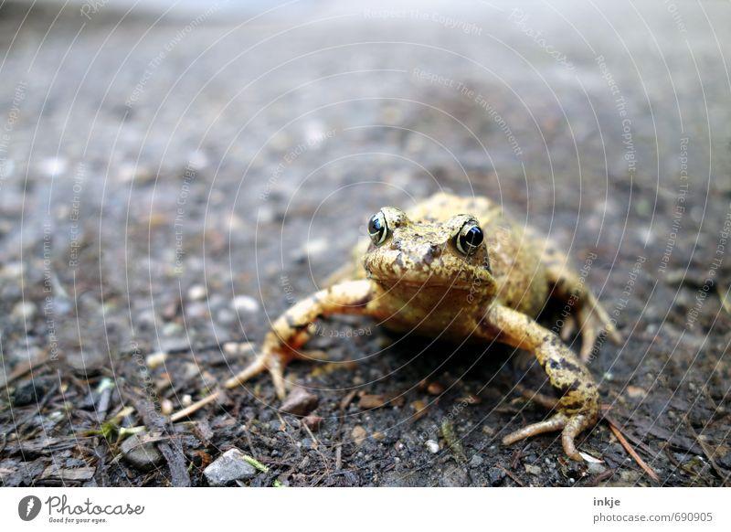 Küss mich! | echt Natur Tier Erde Frühling Garten Park Wildtier Frosch Tiergesicht Kröte Krötenwanderung 1 hocken Blick nah natürlich Neugier braun gelb