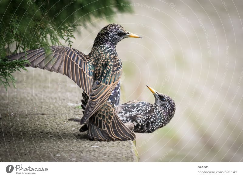 Starallüren Natur grün Tier Umwelt Frühling grau 2 Vogel Wildtier flattern Star