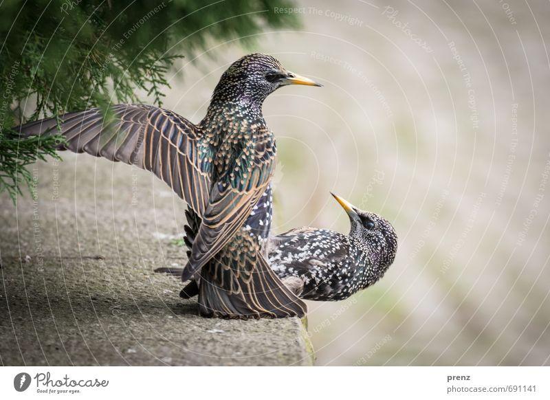 Starallüren Umwelt Natur Tier Frühling Wildtier Vogel 2 grau grün flattern Farbfoto Außenaufnahme Nahaufnahme Menschenleer Textfreiraum rechts Tag