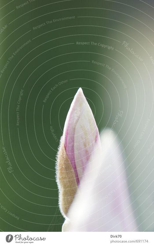 Frühling reloaded schön grün weiß Pflanze Baum ruhig Blüte natürlich Garten rosa Park elegant Wachstum frisch ästhetisch