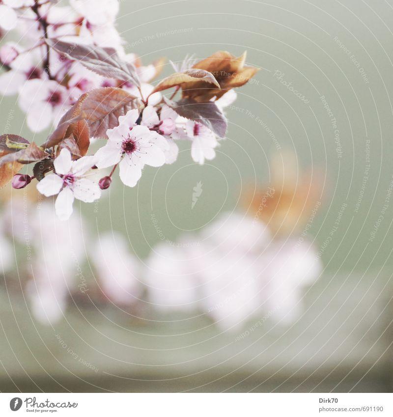 Frühlingsbote III Natur Pflanze Baum Blatt Blüte Zierkirsche Zweig Garten Park Blühend Duft hängen leuchten ästhetisch Fröhlichkeit frisch Gesundheit grau rosa