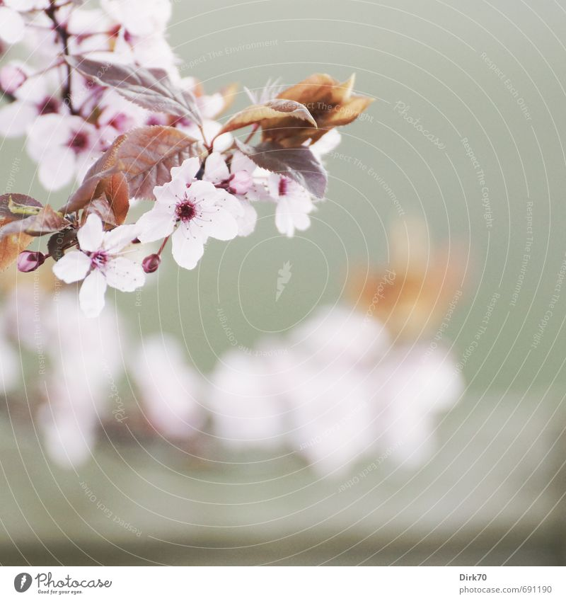 Frühlingsbote III Natur Pflanze Baum rot Blatt Leben Blüte grau Gesundheit Garten rosa Park leuchten Wachstum frisch