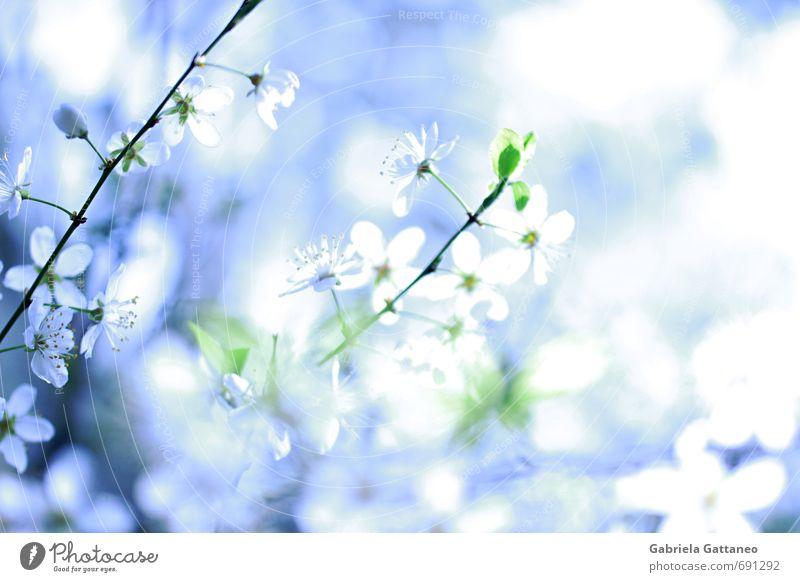 Blumenmeer Natur Pflanze Blüte schön Mirabelle Obstbaum hell leuchtend blau weiß Farbfoto Außenaufnahme