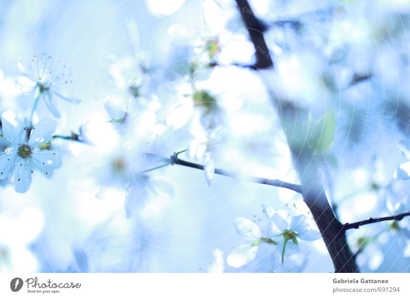 Blumenmeer das dritte Natur Pflanze Nutzpflanze schön hell Obstbaum blau weiß Ast Blüte leuchten Frühling Farbfoto Außenaufnahme Schwache Tiefenschärfe