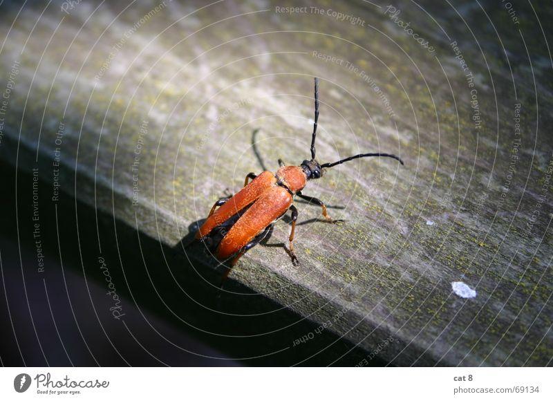 Käfer im Sonnenstrahl rot Holz Tisch Insekt Schatten